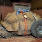 Bert the randy tortoise