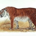 Caspian Tiger Back From The Dead