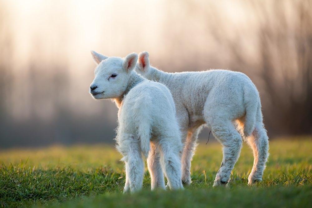 Half-lamb half-human