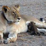 Lion Nursing Leopard Cub