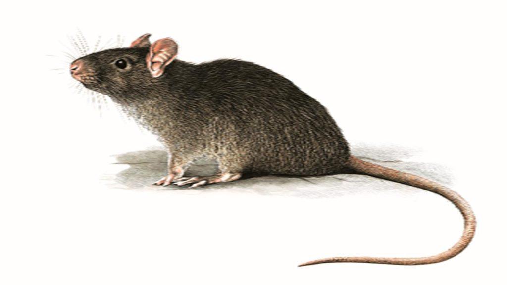 kill every rat